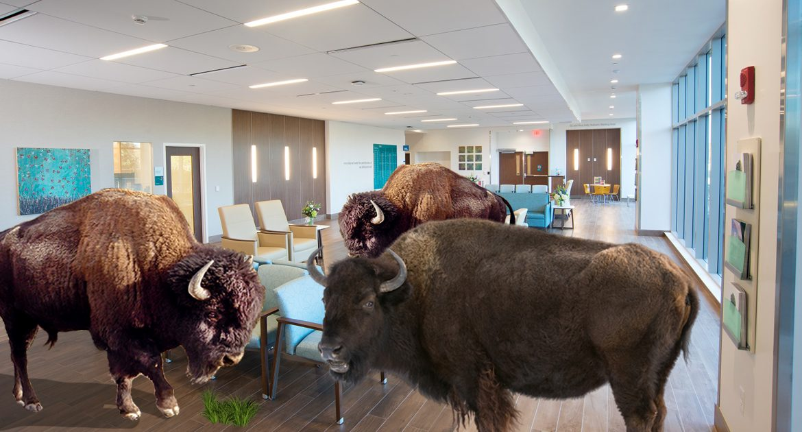 Native Buffalo Retake Most Of Nation's Empty Hospitals