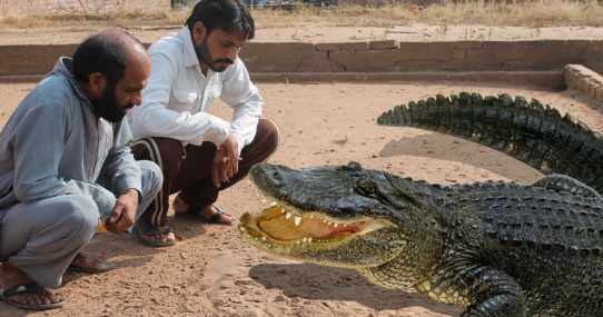 Villagers Perplexed Local Crocodile Is Still Hungry Despite Feeding It Their People